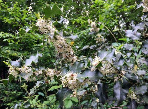 Blühende Stechpalme