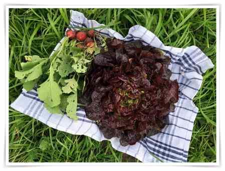 Salat- und Kohlrabiernte