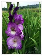 Gladiole lila
