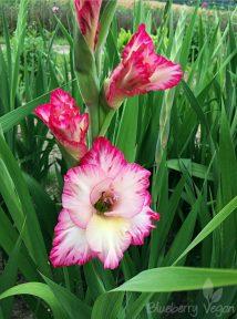 Gladiole weiß pink