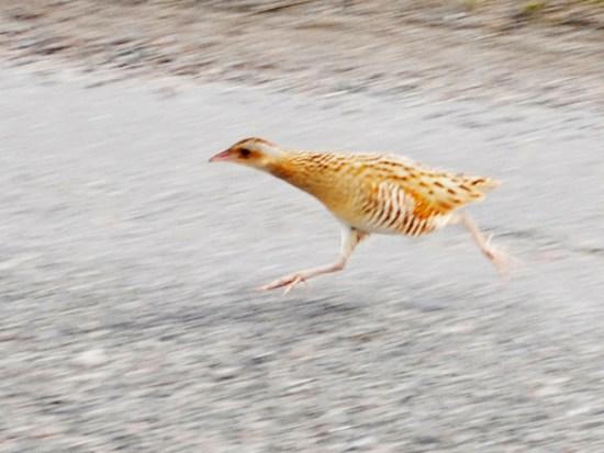 running_corncrake