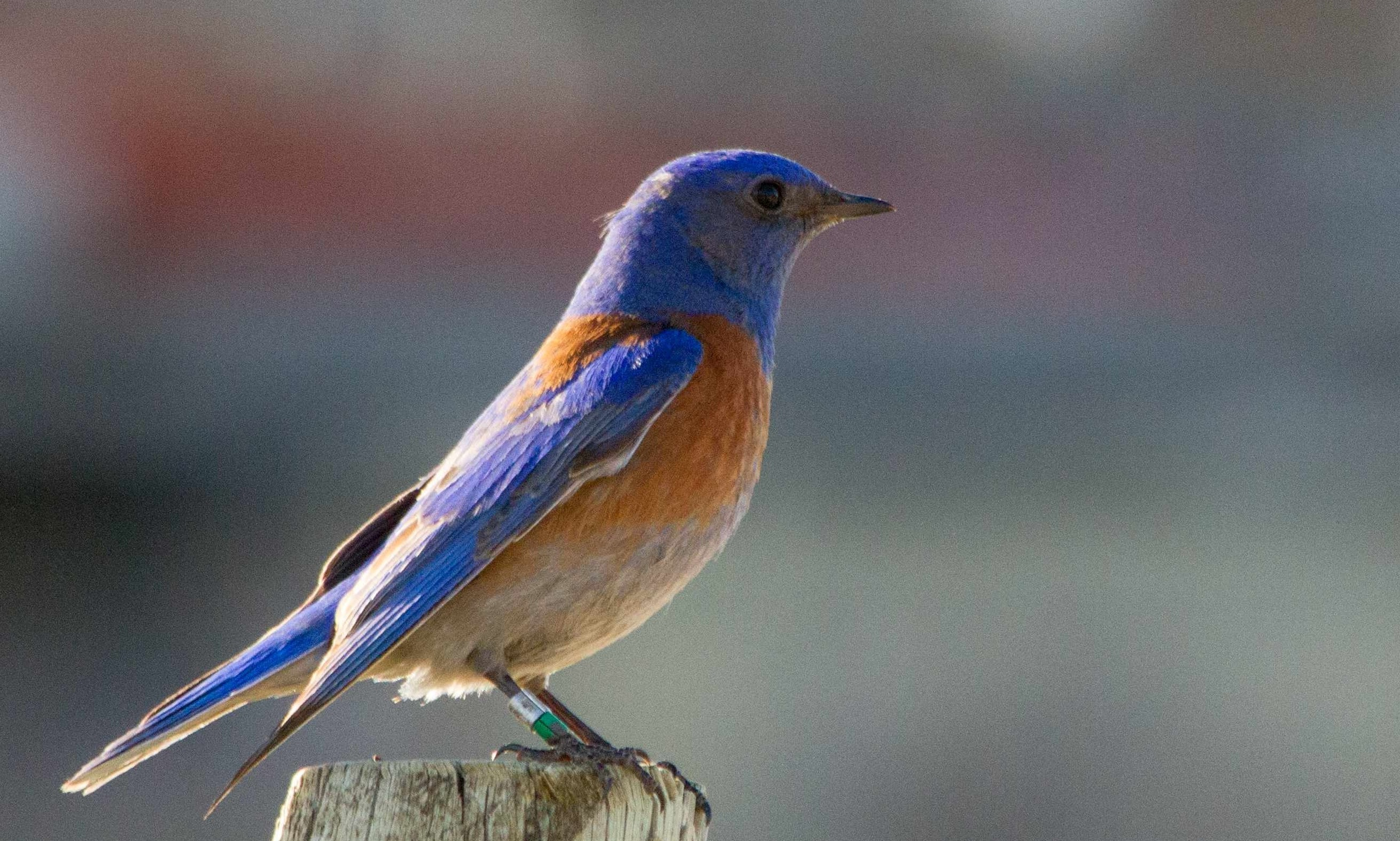 bluebird man   one man's remarkable role in the successful