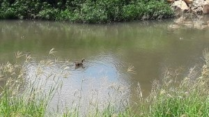 Duck in wetlands at Patterson Park.