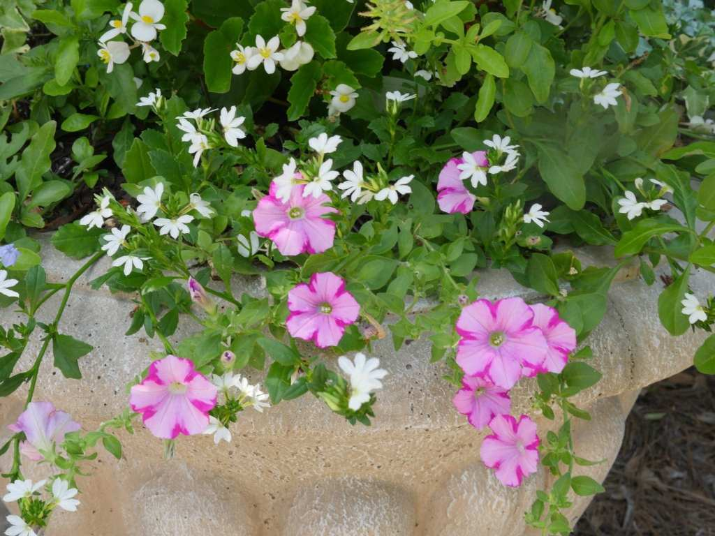 How to Care for Petunias – Video Demo