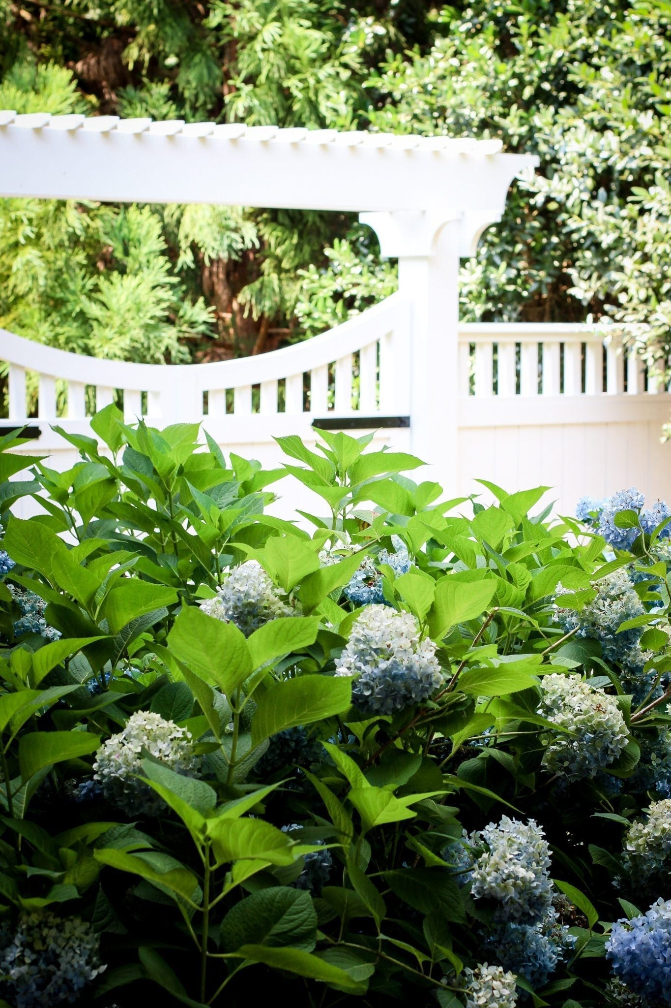 Using hydrangeas by white picket fences.