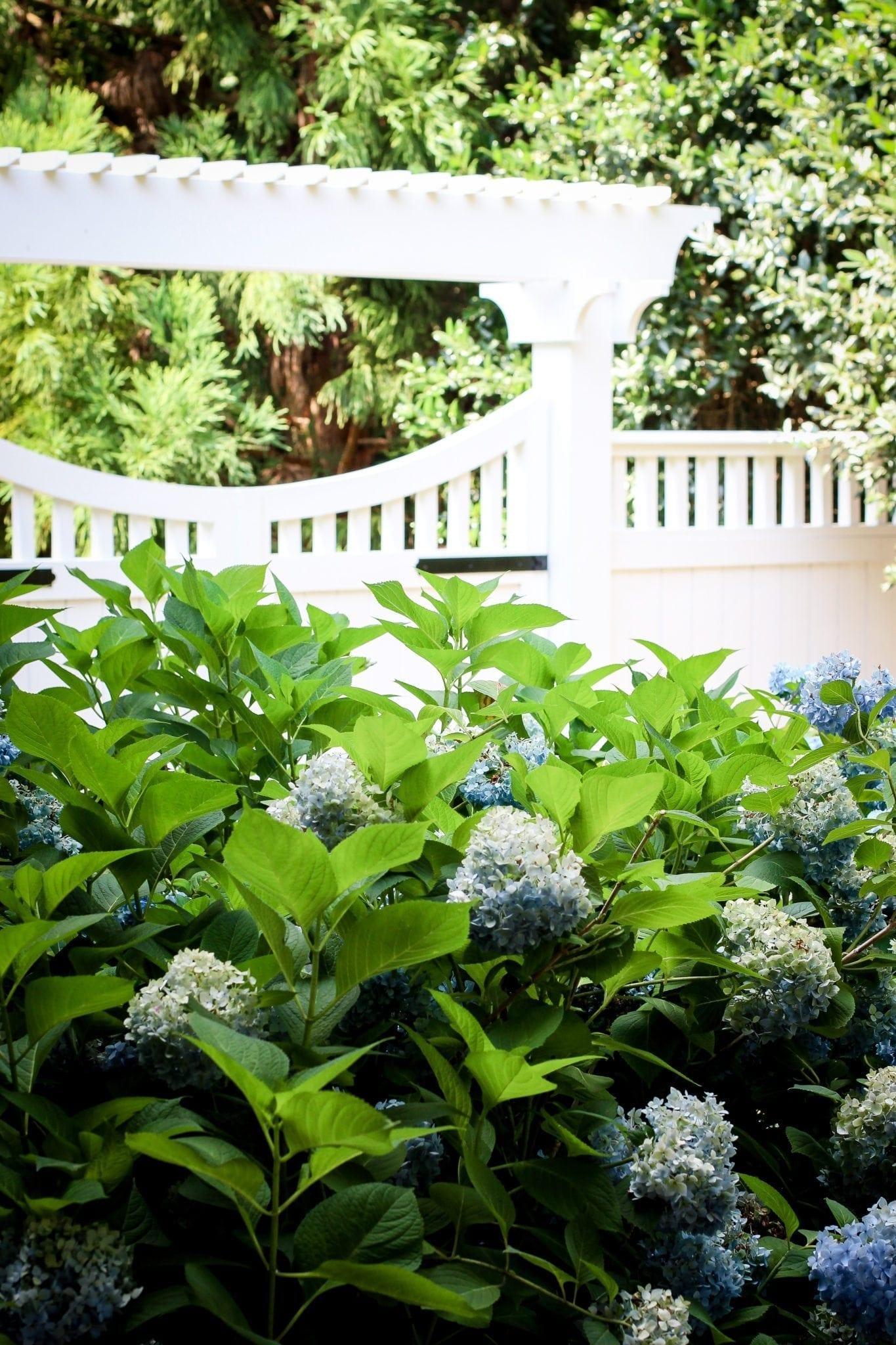 Using hydrangeas by white picket fences.