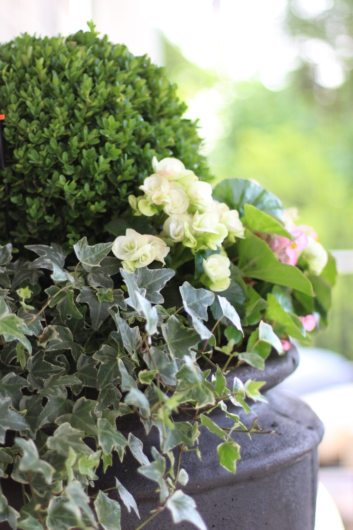 Boxwood Hedge How To Grow Where To Plant And Inspiration