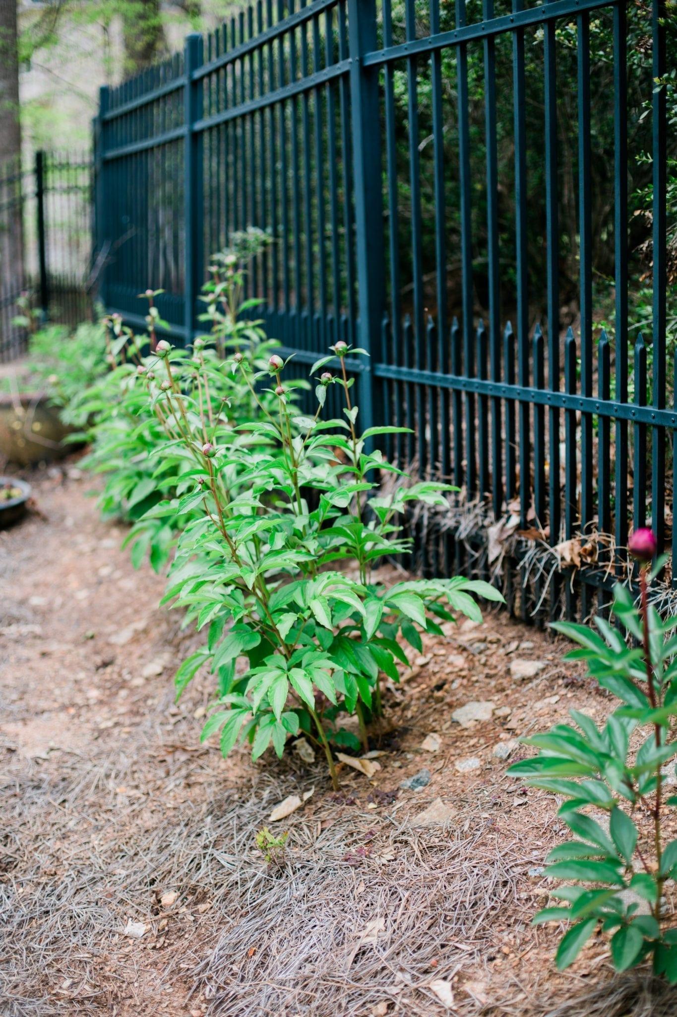 How to grow peony bushes