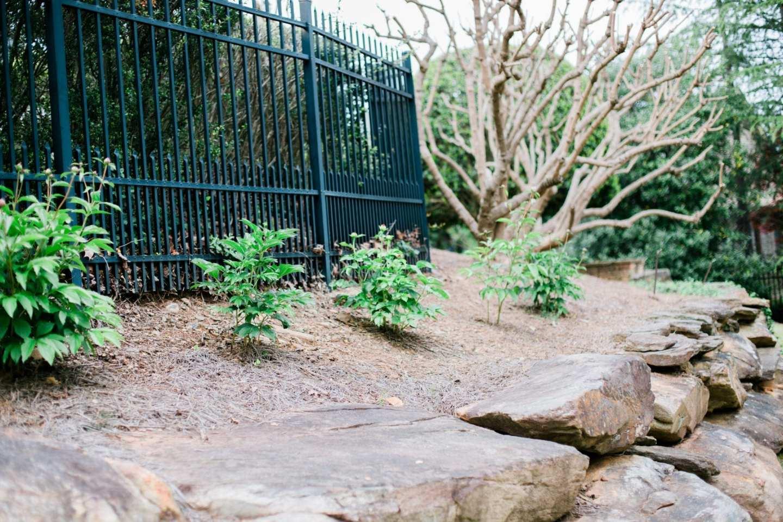 Peony bushes in full sun in Atlanta.