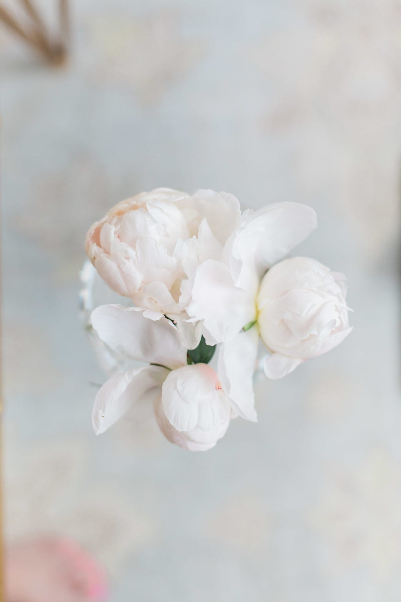 When to cut peony blooms and tricks for growing peonies.