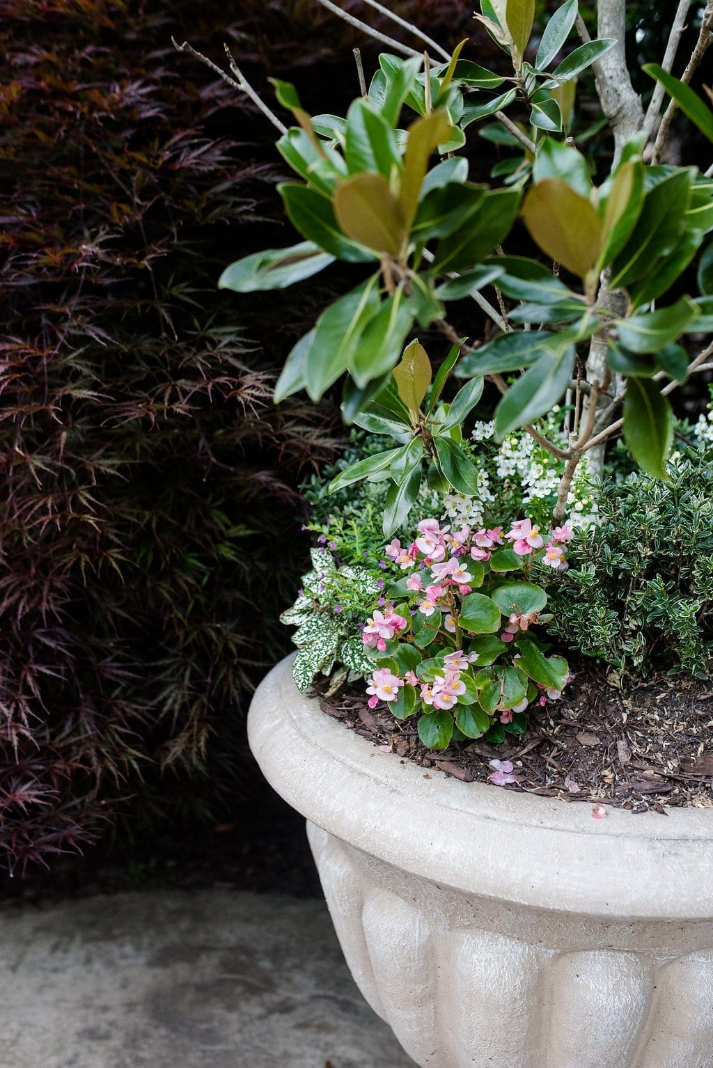 Container planter with Magnolia, pink bogoniz and variegated boxwood.