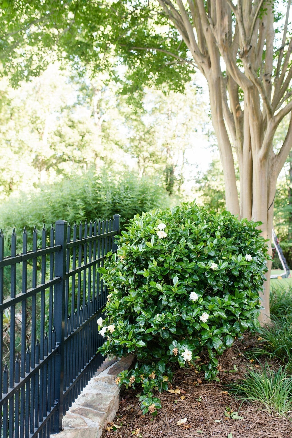 Gardenia Bushes size and how large mine are in our Atlanta, Georgia yard.