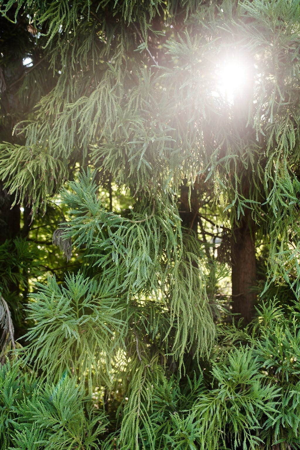 Using Cypress Trees for privacy in landscape design.