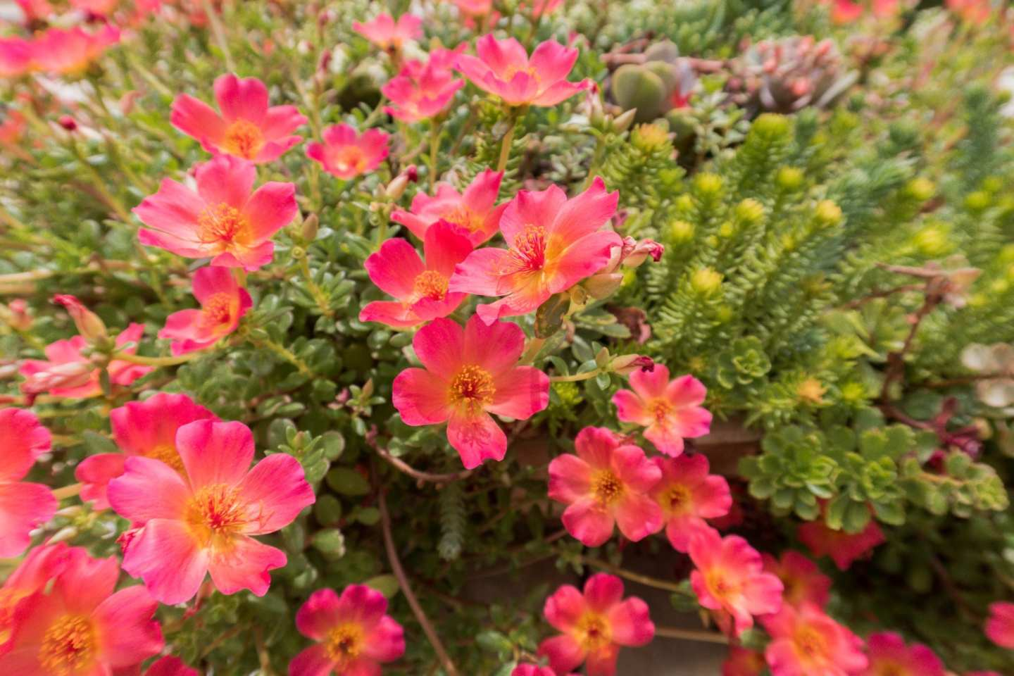 Drought tolerant container planters for high heat areas.
