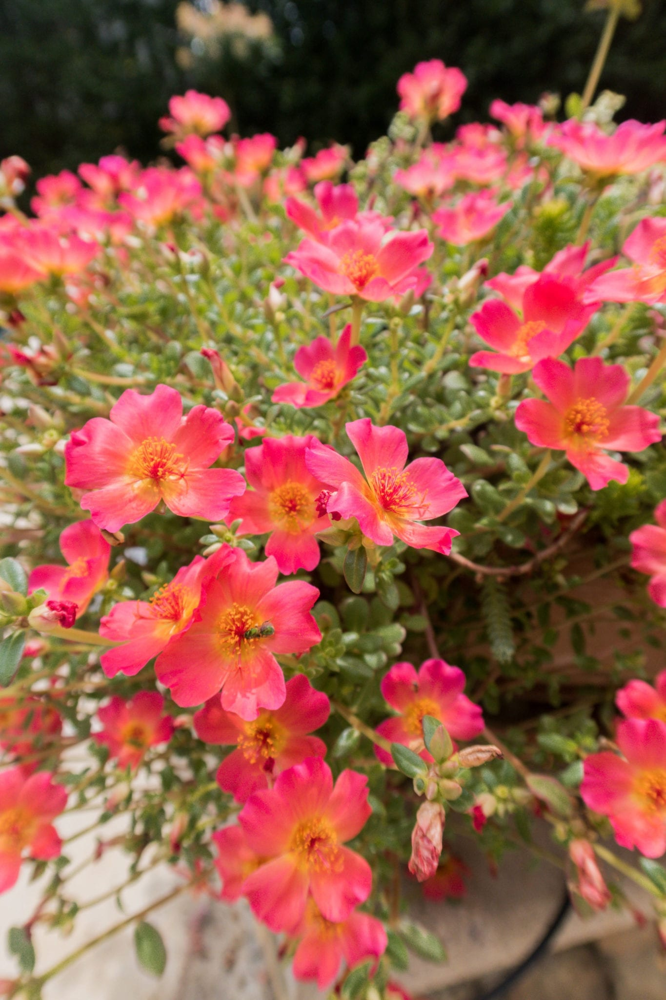 Flowering Succulents full of color that don't require much water or care at all. Drought tolerant container planters.
