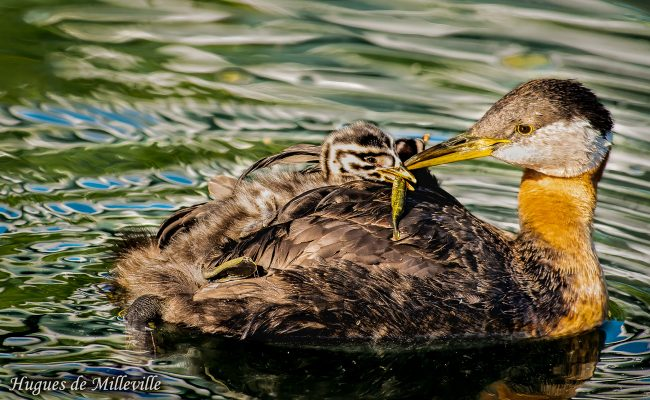 Red-necked Grebe feeding Chick by Hugues de Milleville
