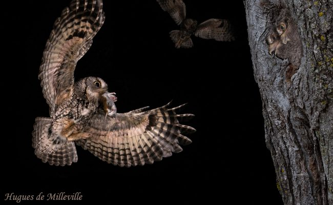 Screech Owl and Young by Hugues de Milleville