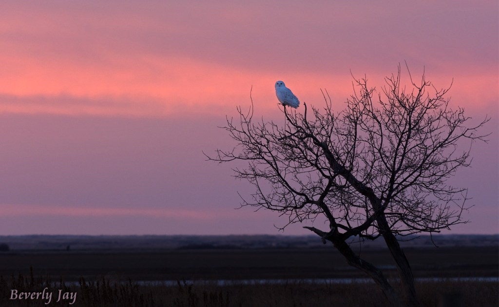 Snowy Owl on the Prairie by Beverly Jay