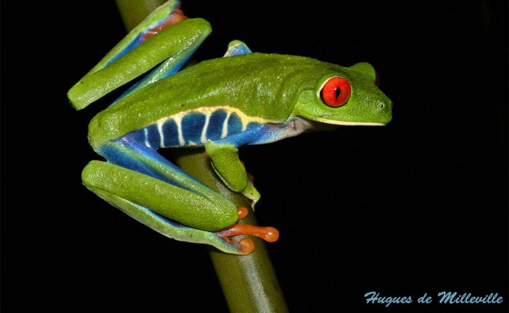Red Eye Tree Frog by Hugues de Milleville