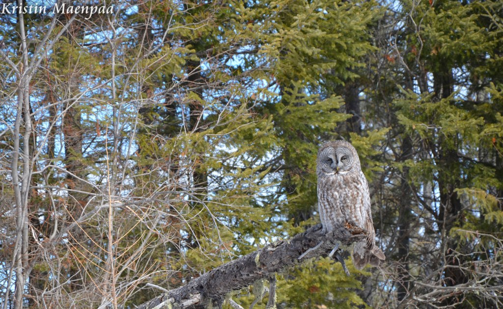 Great Grey Owl by Kristin Maenpaa