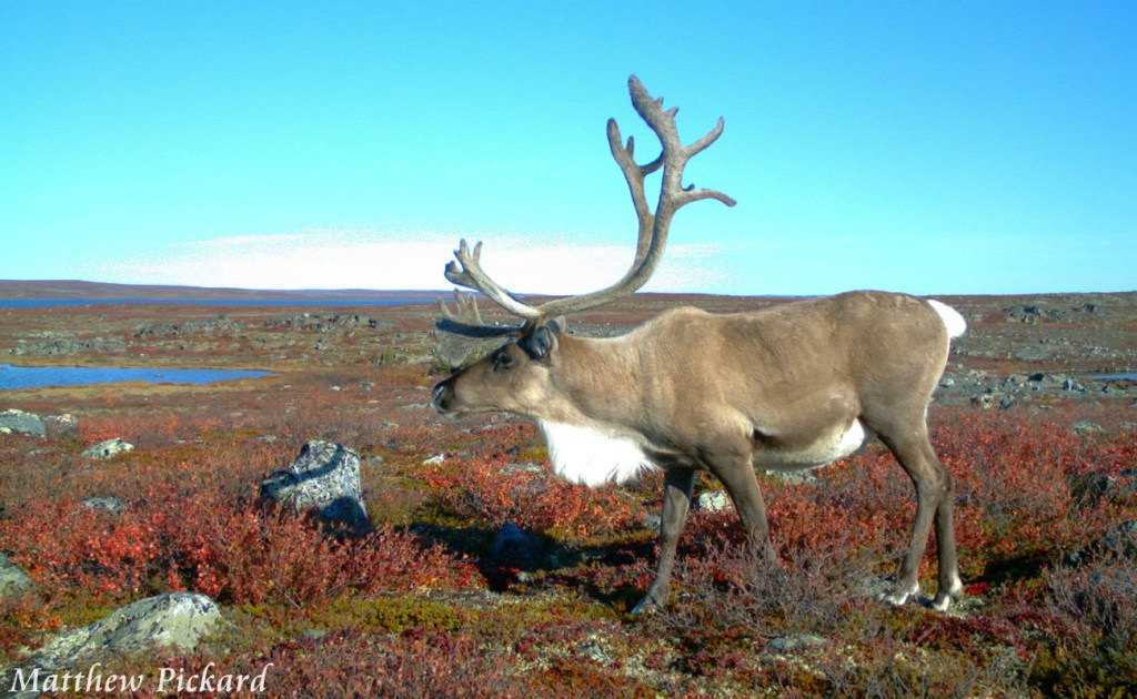 Caribou in the Fall Colours by Matthew Pickard