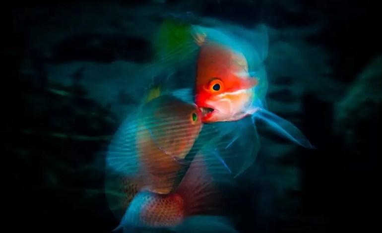 2 miejsce w kategorii życie morskie Dwa walczące samce Anthias Bali, Indonezja fot Anders Nyberg Ocean Art