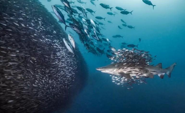 2 miejsce w kategorii zachowania Ciekawy rekin tygrysie u wybrzeży Morehead City, North Carolina, USA fot Debbie Wallace