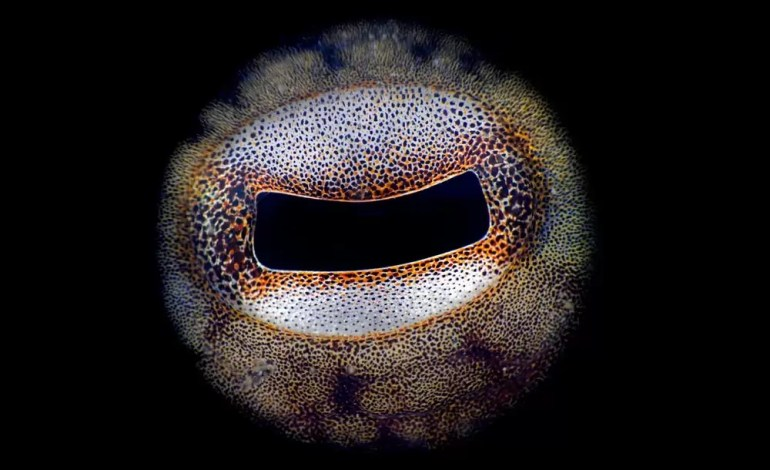 5 miejsce w kategorii SuperMacro Oko ośmiornicy fot Gaetano Gargiulo Ocean Art