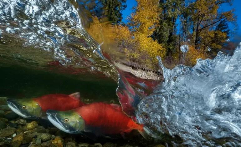 Pacific Red Sockeye Adams River Kanada