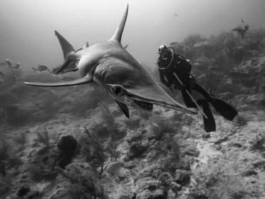 2 miejsce w kat. Natura_podowdne Bliskie spotkanie z rekinami fot Serge Melesan