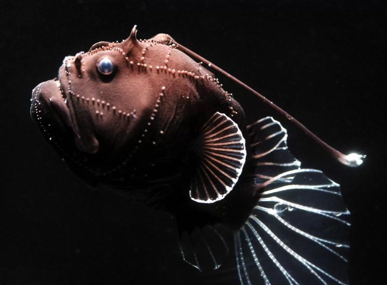 Anglerfish (Oneirodes eschrichtii)