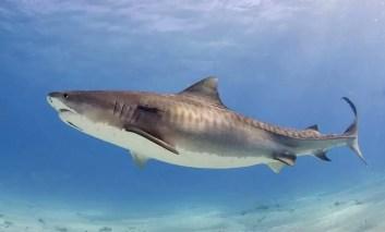 Czy rekiny przestrzegają zasad podczas polowania?