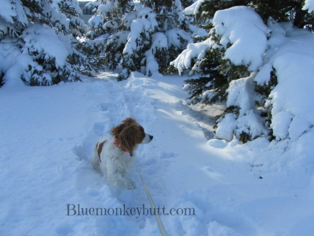 Penny the Wonder Dog Cavalier Playing in the Snow