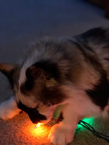 Jezebel eating the Christmas lights