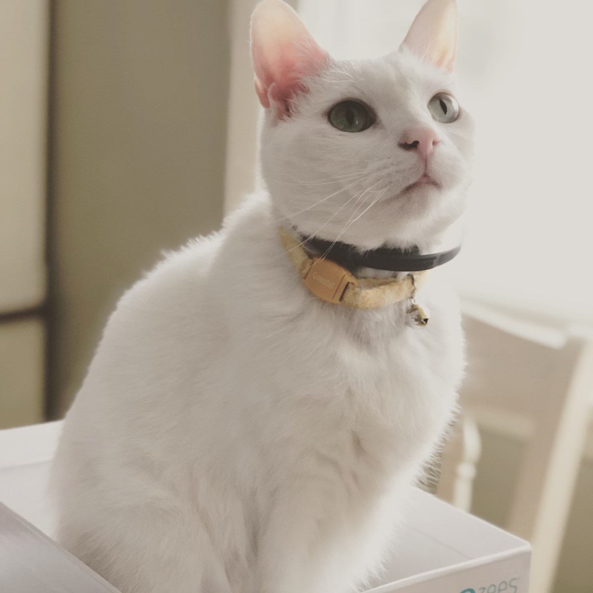 White cat in box