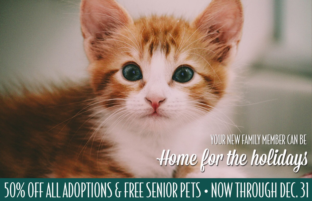 Orange tiger kitten promo for home for the holidays at Lollypop Farm