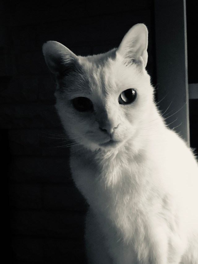 Black and white photo of a white cat