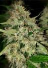 1 fresh seed Cream soma #1