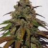 1 fresh seed. Fruity Face Nana Knock out #3