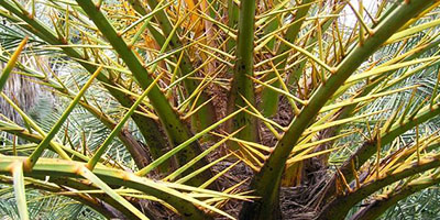 Datça hurması – Datca Palm - Phoenix theophrasti
