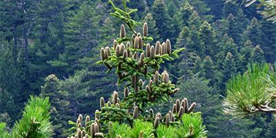 Kaz dağı göknarı – (Kazdagi Fir) Abies nordmanniana subsp. equi-trojani