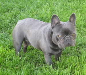 Available French Bulldog Puppies For Sale | Blue Ribbon