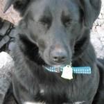Missing Dog from Near Lobbans Ln & West Tanbark - Afton