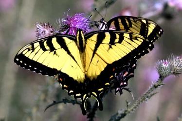 PP-Butterfly