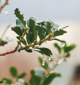 Photo By Ann Strober : ©2009 NCL Magazine : Ice on the holly.