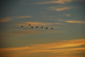 Photo By Ann Strober : ©2009 NCL Magazine : Canadian geese off into an evening sky near Nellysford, Virginia : February 2009