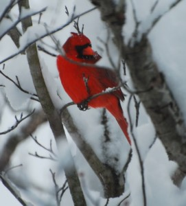 Cardinal in the snow. Nellysford, VA. (Ann Strober) © 2009 NelsonCountyLife.com