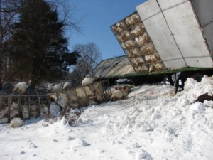 Photos Courtesy of Ray Uttaro : ©2010 www.nelsoncountylife.com : Hunderds of turkeys were scattered along the shoulder of Route 151 Wednesday when a semi rig hauling them jackknifed just north of Bland Wade Road. Click photos to enlarge.