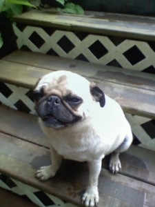 Jack, this adorable fawn pug went missing the night of July 3rd in the area of The Rockfish Valley Community Center. Click to enlarge.