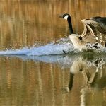 Bryant : Geese Know Spring Is On The Way!
